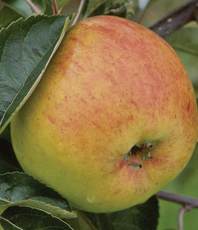 Apple 'Blenheim Orange' (M26)