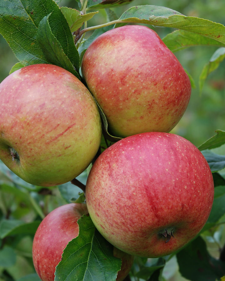 Apple 'Charles Ross' (M26)