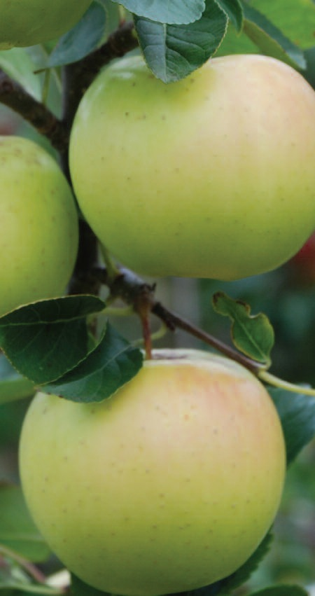 Apple 'Greensleeves' (M26)
