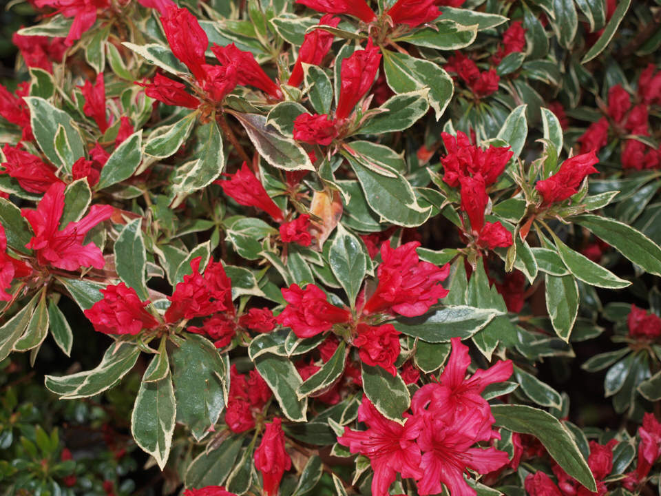 Azalea 'Hot Shot'