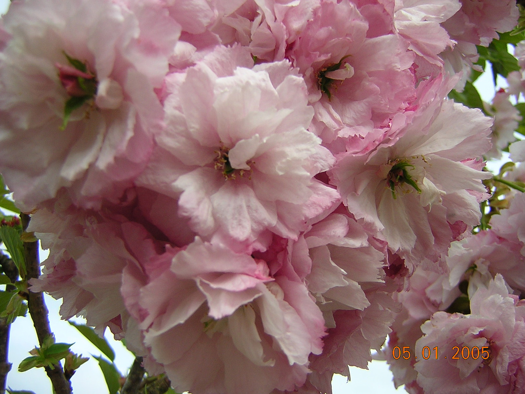 Prunus 'Pink Perfection'