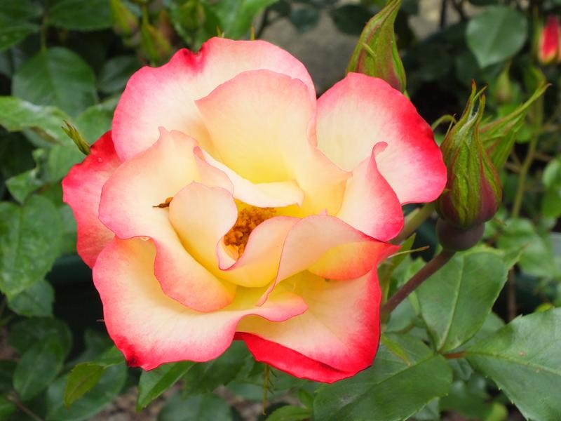 Floribunda Rose 'Birthday Girl'