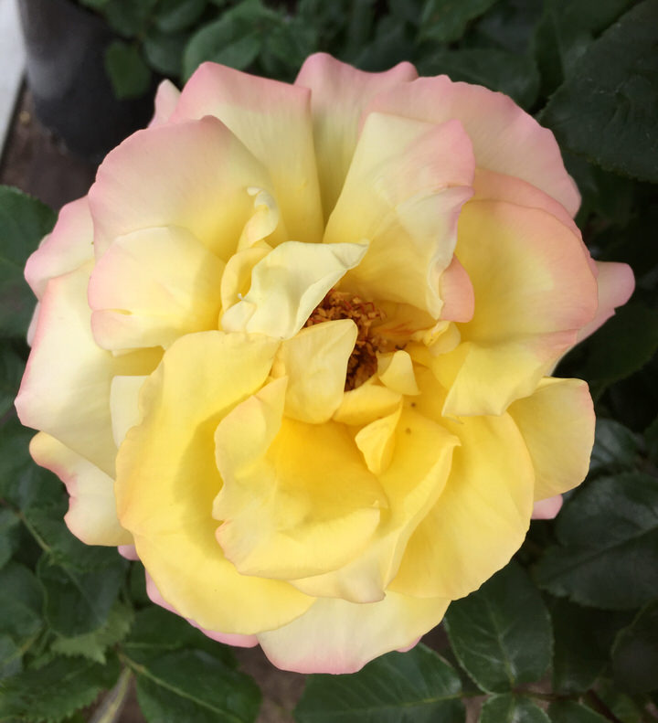 Floribunda Rose 'Golden Wedding'