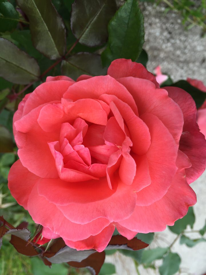 Floribunda Rose 'Happy Anniversary'