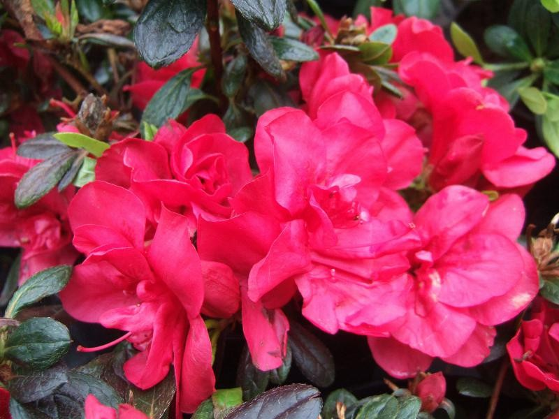 Azalea 'Mother's Day'