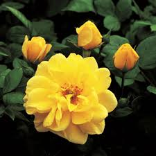 Floribunda Rose 'Golden Memories'