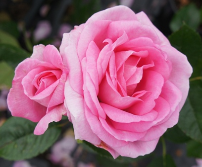 Hybrid Tea Rose 'Mum in a Million'