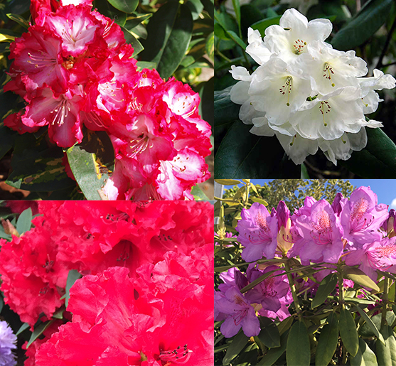 Rhododendron Hybrid (Mixed)